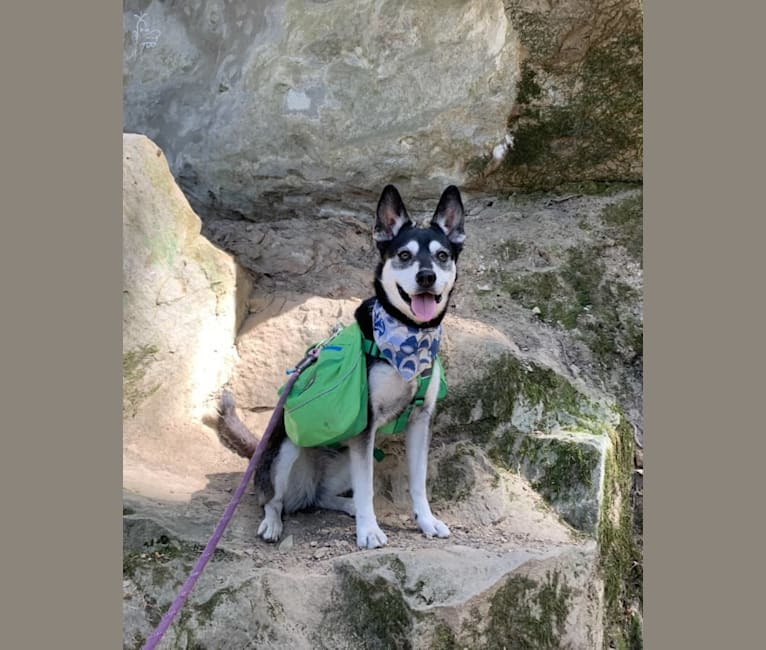 Photo of Kaylee, a Siberian Husky, American Pit Bull Terrier, Miniature Pinscher, and Mixed mix in Oakland, California, USA