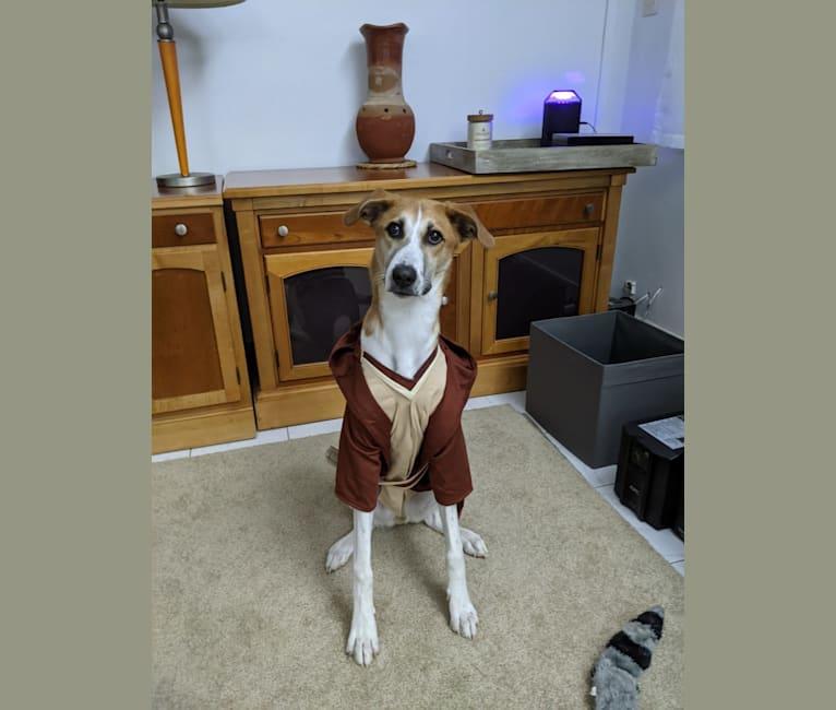 Photo of Kenobi, a West African Village Dog  in N'Djamena, N'Djamena, Chad