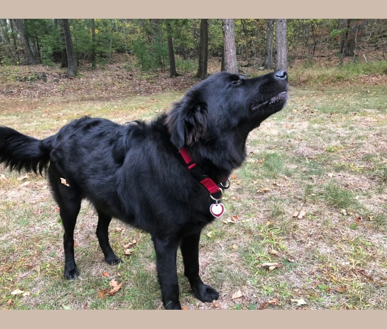 Photo of Henry, a Labrador Retriever, Chinese Shar-Pei, German Shepherd Dog, and American Pit Bull Terrier mix in Jefferson County, Arkansas, AR, USA