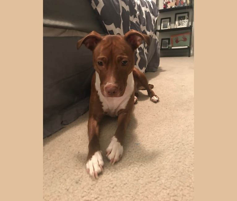 Photo of Zoe, an American Pit Bull Terrier, American Bulldog, American Staffordshire Terrier, and Mixed mix in Charleston, South Carolina, USA
