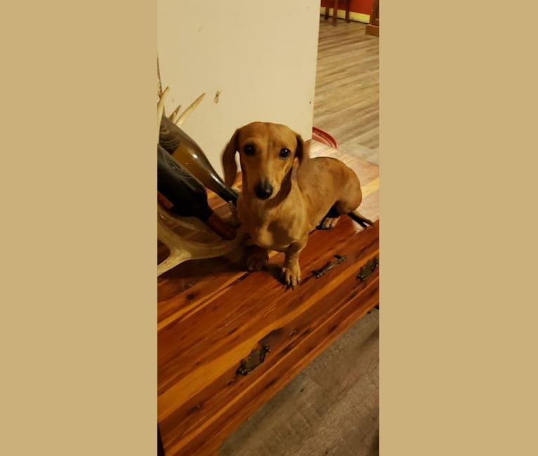 Photo of Patty, a Dachshund  in Fulton, Missouri, USA