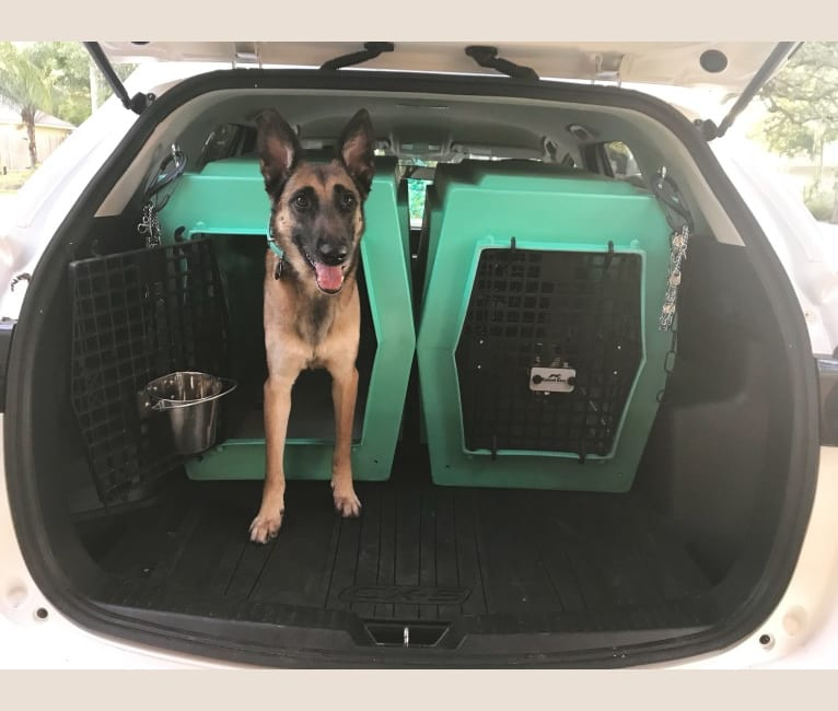 Photo of Karma, a Belgian Malinois and Dutch Shepherd mix in Jacksonville, Florida, USA