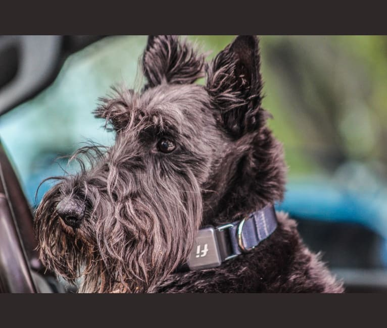 Photo of Max, a Scottish Terrier  in Hohenwald, TN, USA