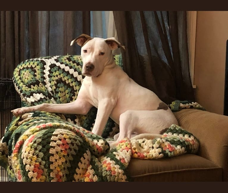 Photo of Ollie, an American Pit Bull Terrier, American Staffordshire Terrier, and Mixed mix in Cincinnati, Ohio, USA