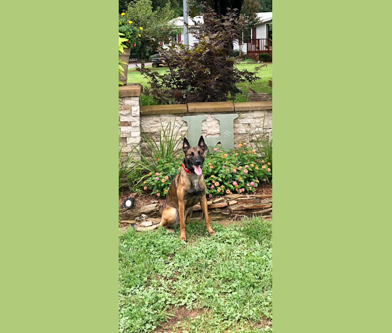 Photo of Kimber, a Belgian Shepherd  in Pennsylvania, USA