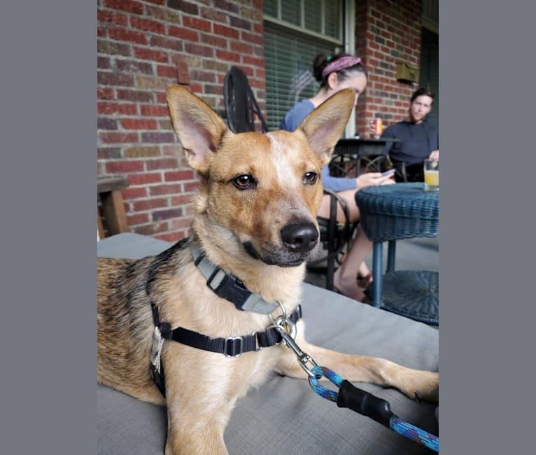 Photo of Melvin, an Australian Cattle Dog  in Cobb County, GA, USA
