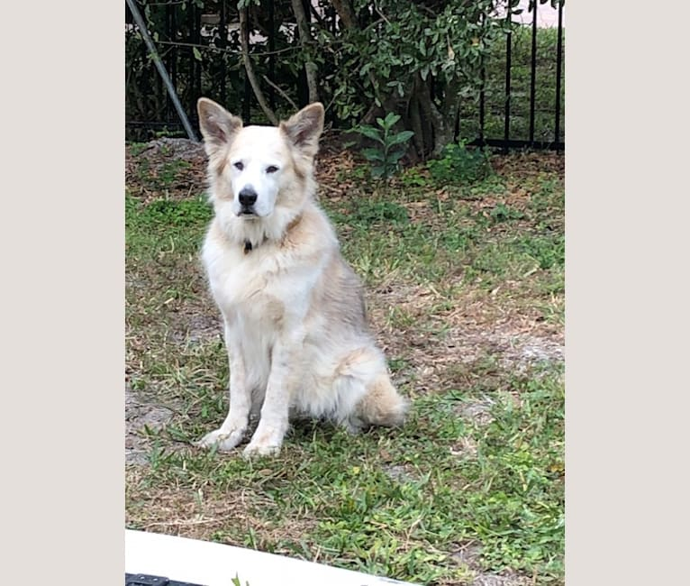 Photo of Ben, a Golden Retriever, Chow Chow, American Pit Bull Terrier, German Shepherd Dog, English Setter, and Mixed mix in Georgia, USA
