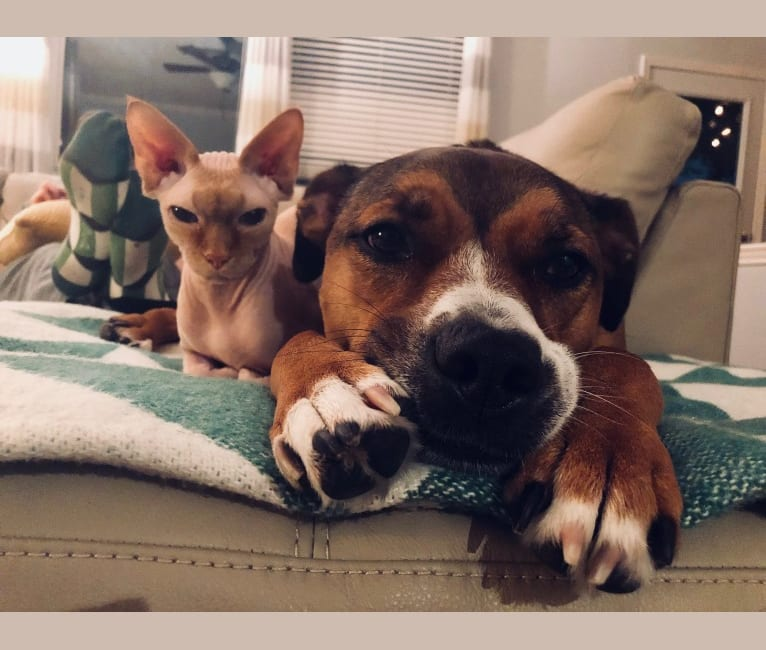Photo of Nymh, an American Pit Bull Terrier, Chow Chow, and Beagle mix in San Antonio, Texas, USA