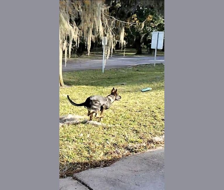 Photo of Argos Envy2 Augustine Vom Marienhof, a German Shepherd Dog  in Jacksonville, FL, USA
