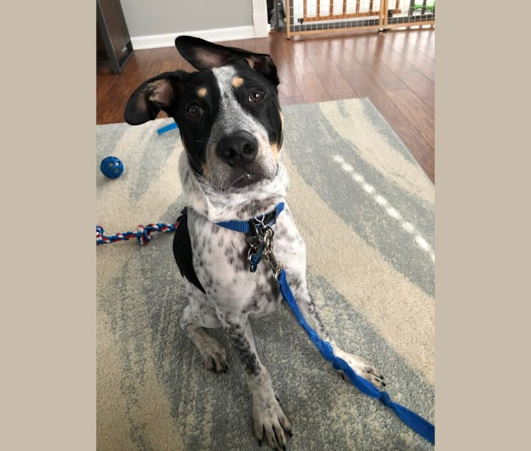 Photo of Milo, an American Pit Bull Terrier, Australian Cattle Dog, Mountain Cur, and Mixed mix in Louisiana, USA