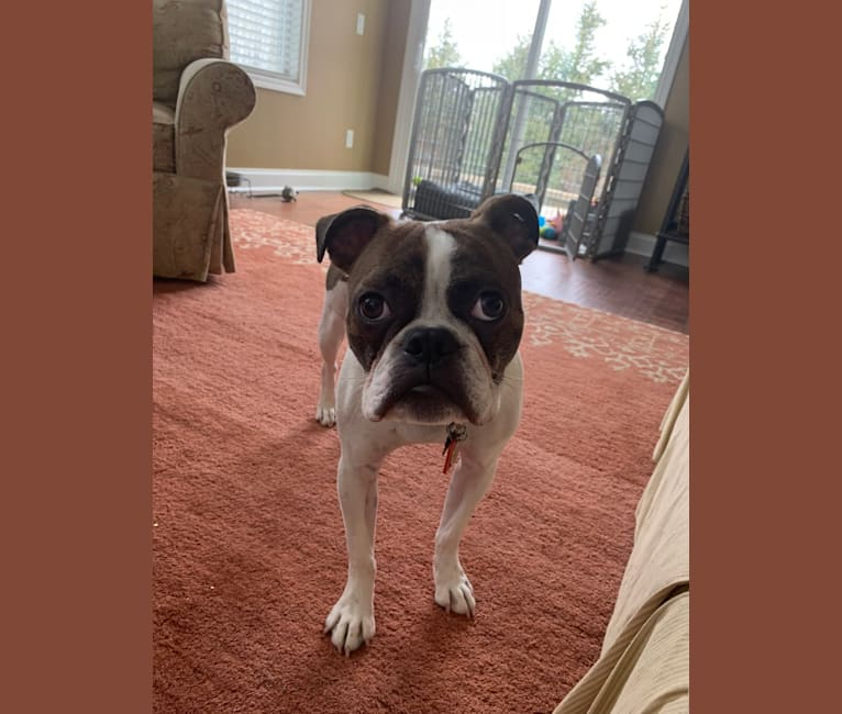Photo of Milo, a Boston Terrier and Bulldog mix in Montville, Ohio, USA