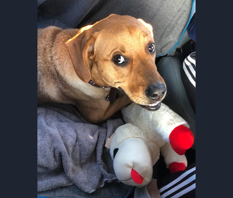 Photo of Beau, an American Pit Bull Terrier, Boxer, and Beagle mix in Mississippi, USA