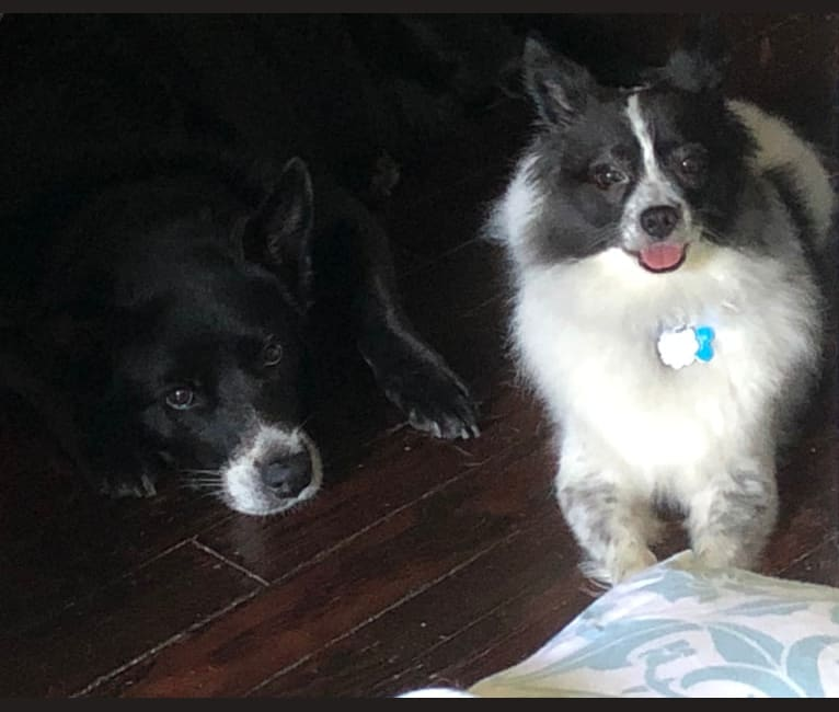 Photo of George Costanza, a Pomeranian, Chow Chow, and Mixed mix in Cleveland, Ohio, USA