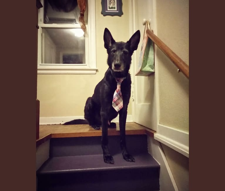 Photo of Bower Seattle, a German Shepherd Dog mix in Maple Grove, MN, USA