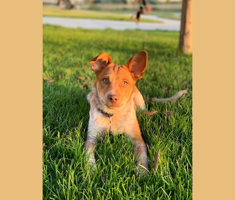 Photo of Copper, an Australian Cattle Dog, Chihuahua, Shih Tzu, and Mixed mix in Las Vegas, NM, USA