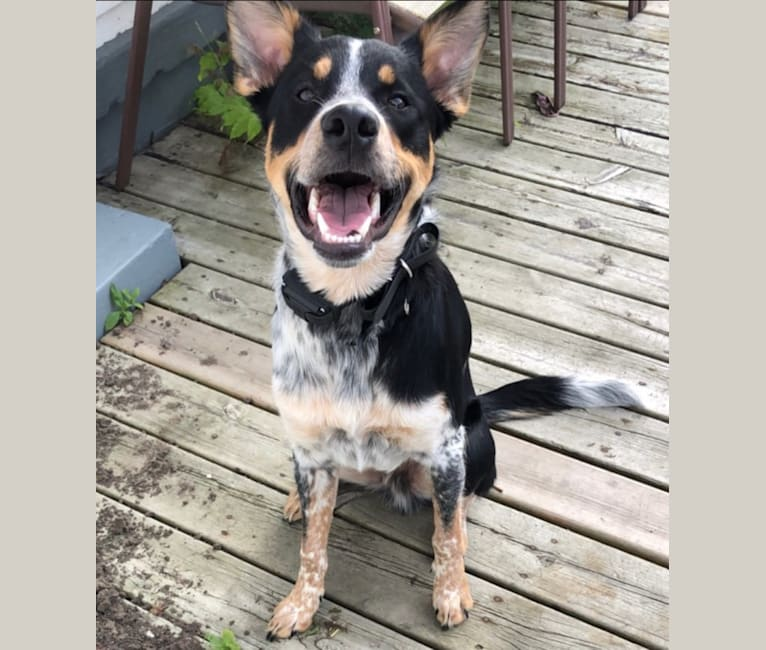 Photo of Finn, a Border Collie, Australian Cattle Dog, and Golden Retriever mix in Toledo, Ohio, USA