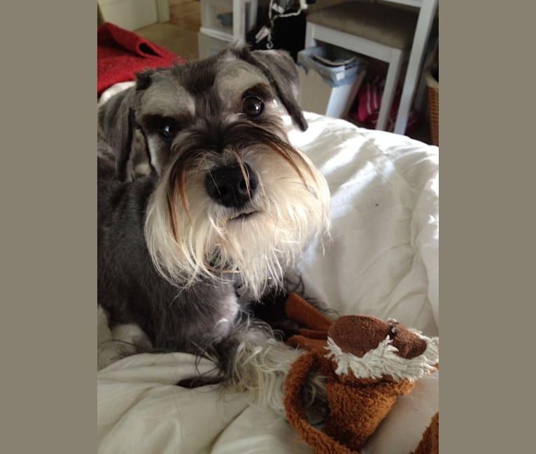 Photo of Max, a Miniature Schnauzer  in Auburn, New York, USA