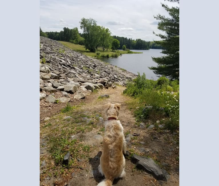 Photo of Bentley, an American Pit Bull Terrier, Chow Chow, Labrador Retriever, Australian Shepherd, and Golden Retriever mix in Marlboro, Massachusetts, USA