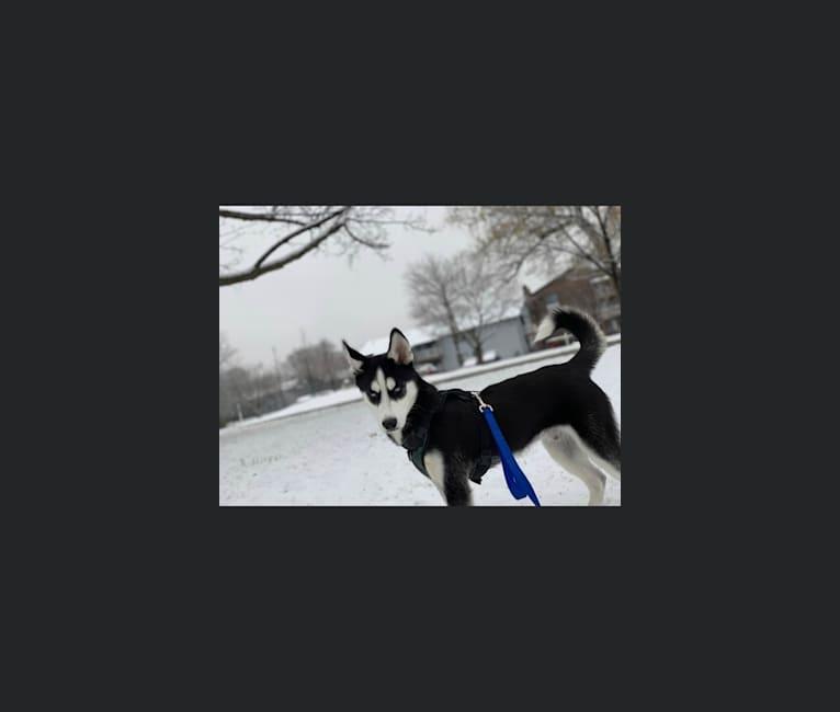Photo of Zuko, a Siberian Husky  in Palatine, Illinois, USA