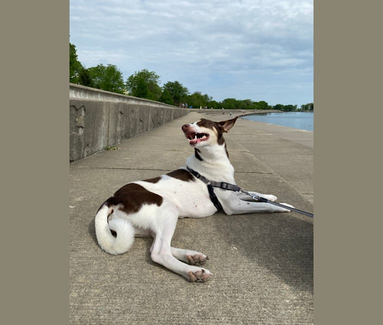 Photo of Keira, a Northern East African Village Dog  in Chicago, Illinois, USA
