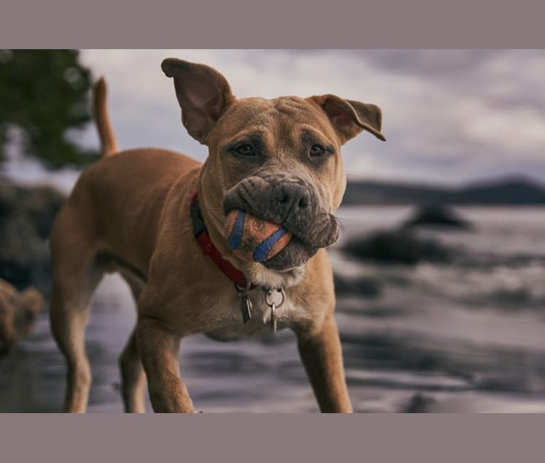 Photo of Woody, an American Bully