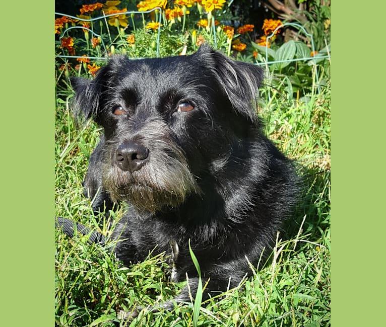 Photo of Little Bear, an Australian Cattle Dog, Shih Tzu, and Russell-type Terrier mix in Massachusetts, USA