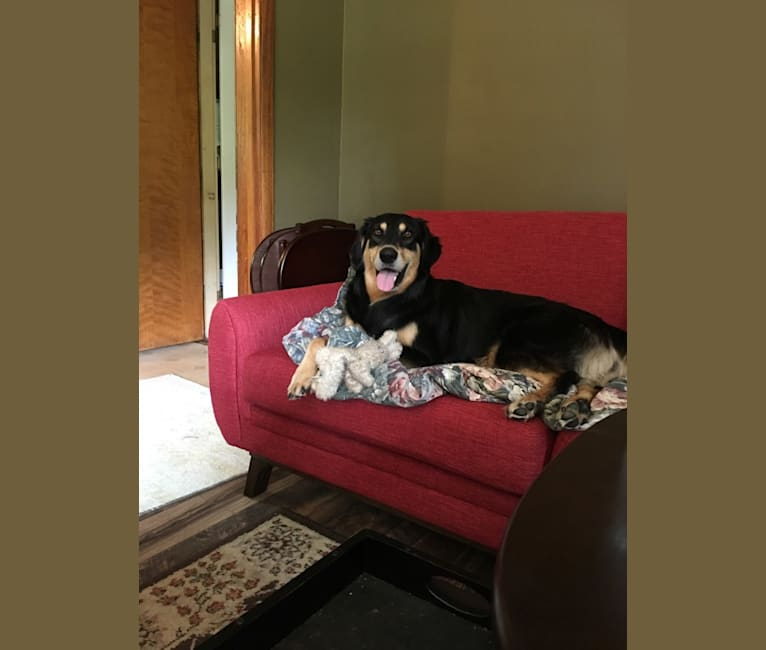 Photo of Kirby, a Llewellin Setter and German Shepherd Dog mix in Indiana, USA