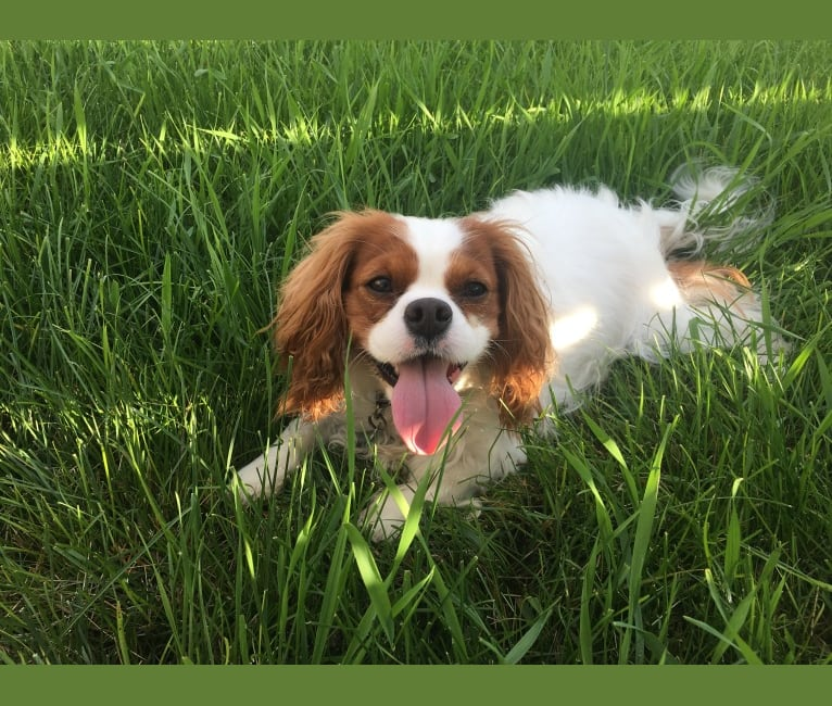 Photo of Gracie, a Cavalier King Charles Spaniel