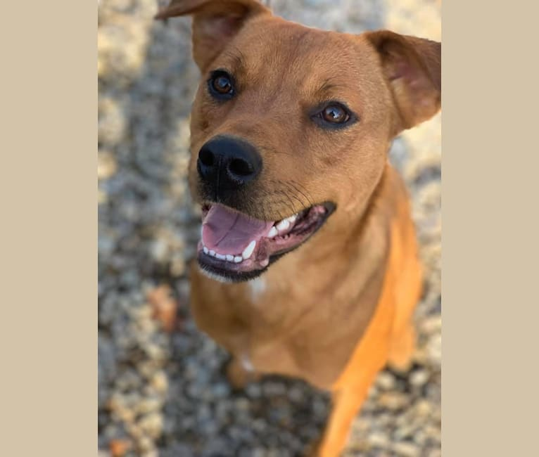 Photo of Molly, a Rottweiler and American Pit Bull Terrier mix in Tennessee, USA