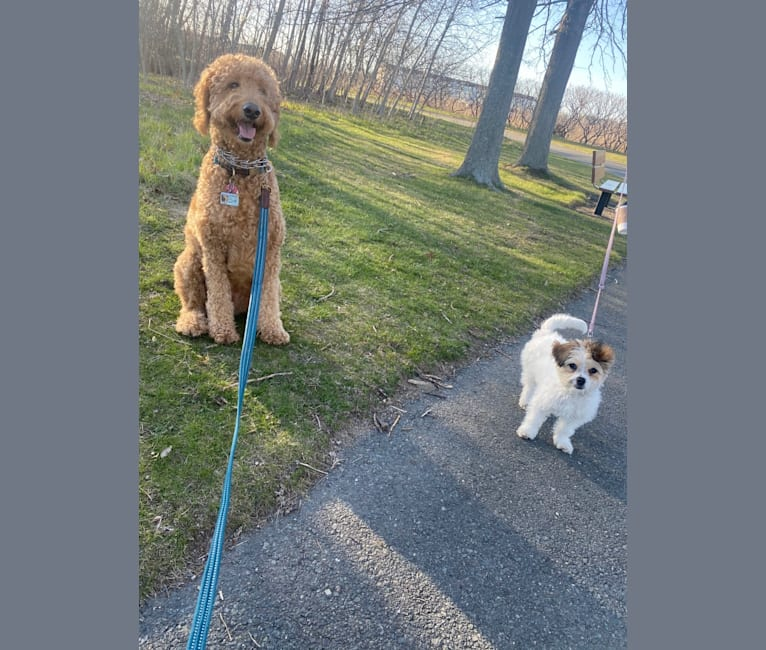Photo of Cleo, a Poodle (Small), Pekingese, Maltese, and Mixed mix in Boston, Massachusetts, USA