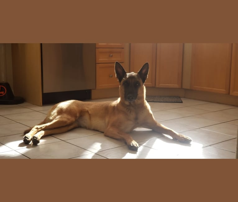 Photo of Roxy, a Dutch Shepherd  in Thornton, Colorado, USA