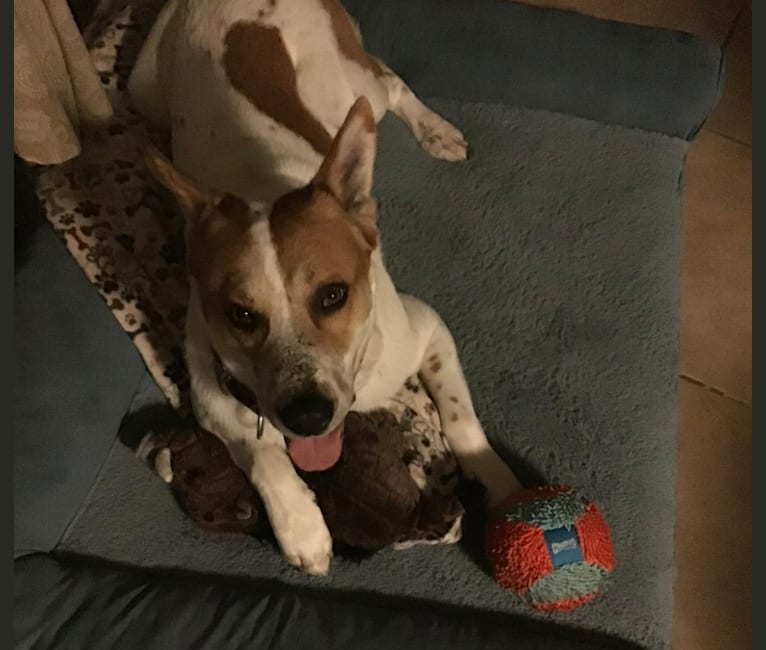 Photo of Harley, an Australian Cattle Dog, Chow Chow, American Pit Bull Terrier, Labrador Retriever, and Siberian Husky mix in Houston, Texas, USA