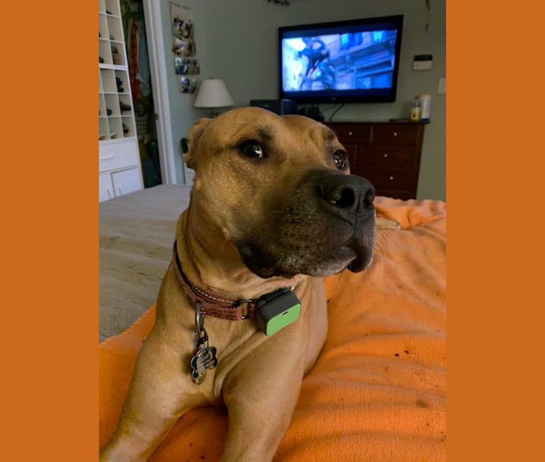 Photo of Monty, an American Pit Bull Terrier  in Indian Land, South Carolina, USA