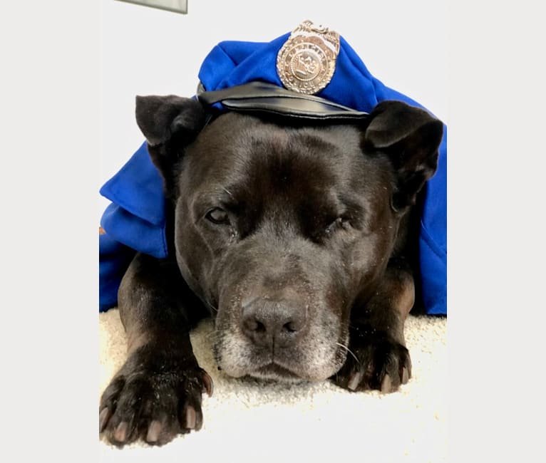 Photo of Petey, an American Bully, Neapolitan Mastiff, and Chow Chow mix in California, USA