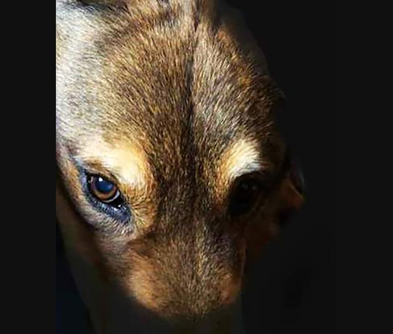 Photo of Burt, a Chow Chow, German Shepherd Dog, Australian Shepherd, and Mixed mix in California, USA