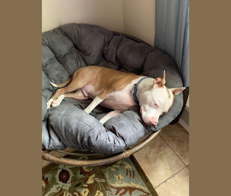 Photo of Ollie, an American Staffordshire Terrier  in San Antonio, Texas, USA