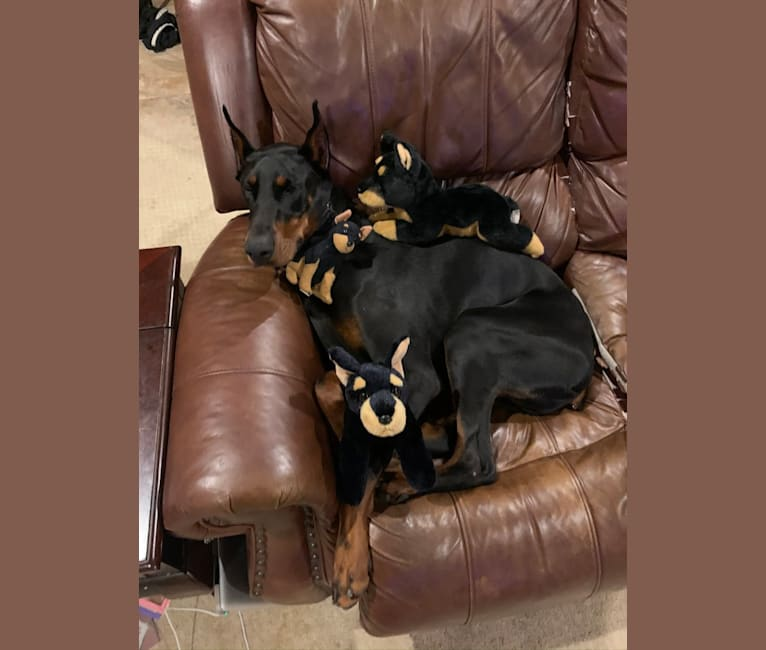 Photo of Cash, a Doberman Pinscher  in Missouri, USA