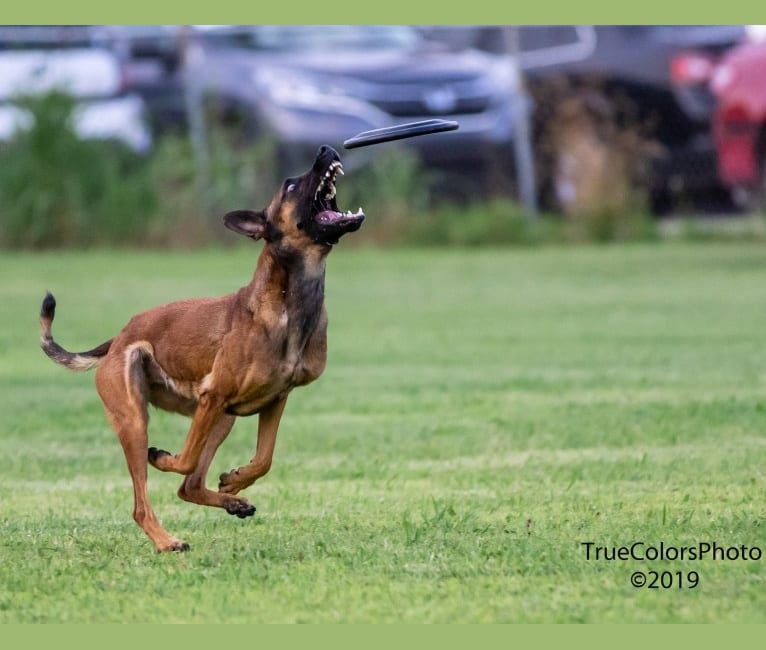 Photo of 'Zilla, a Dutch Shepherd