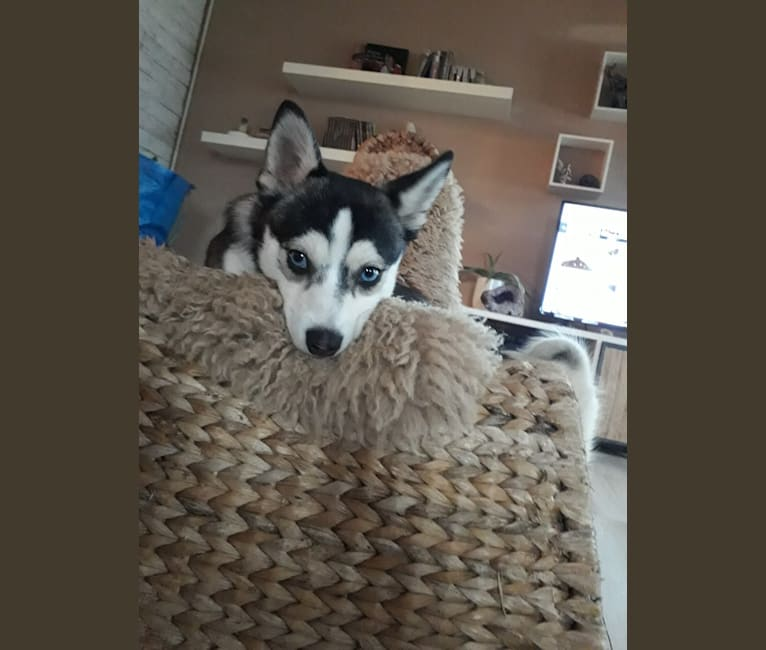 Photo of STAN, a Pomeranian, Siberian Husky, American Staffordshire Terrier, and Mixed mix