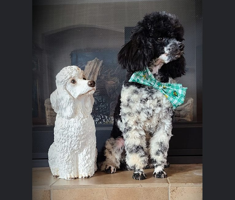 Photo of lil dude Gus, a Poodle (Small)  in Hot Springs, AR, USA