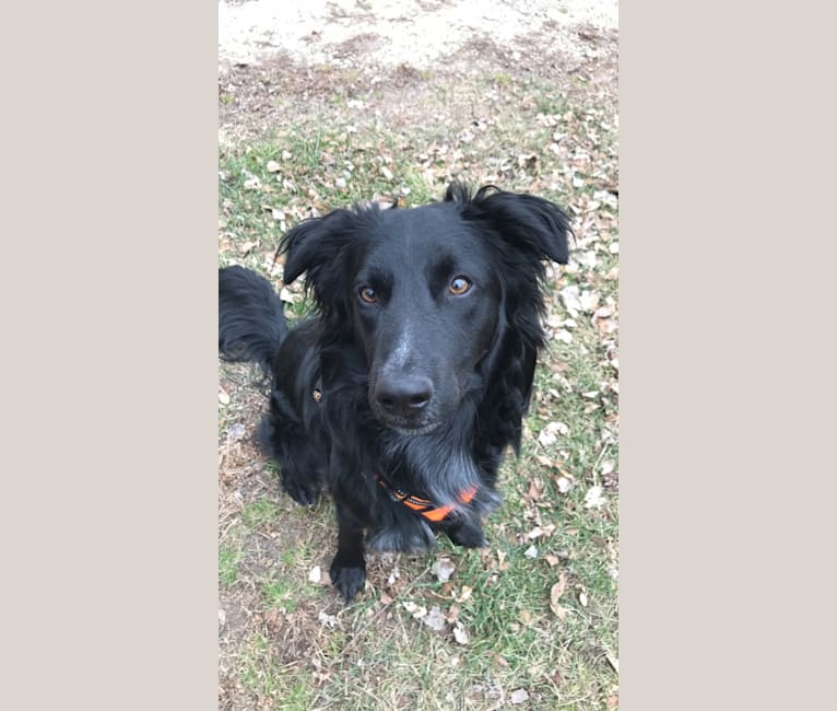 Photo of Sako, a Border Collie, Australian Cattle Dog, and Chow Chow mix in Texas, USA