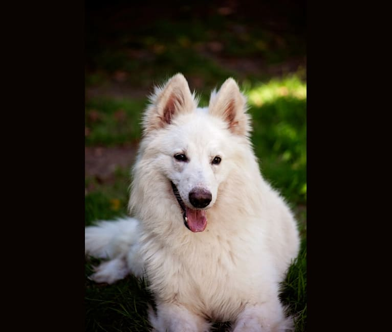 Photo of Cas, a White Shepherd  in Belgium