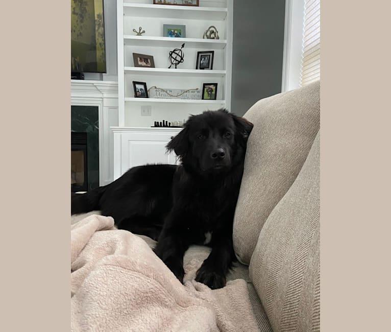 Photo of Koko, a German Shepherd Dog, Akita, Labrador Retriever, and Chow Chow mix in Memphis, Tennessee, USA