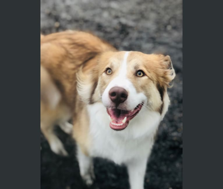 Photo of Dakota, an Australian Shepherd, American Pit Bull Terrier, Border Collie, and Mixed mix in Virginia Beach, Virginia, USA