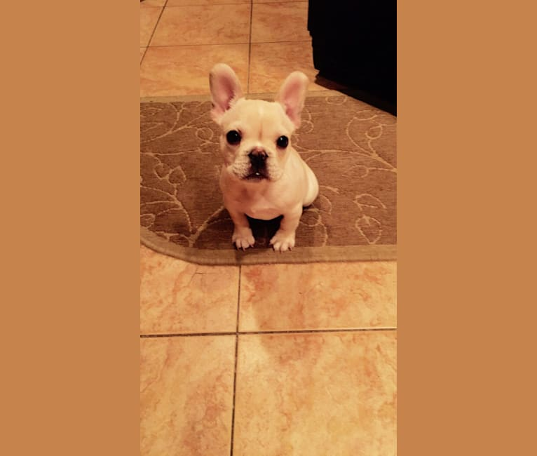 Photo of Milo, a French Bulldog  in Arkansas, USA