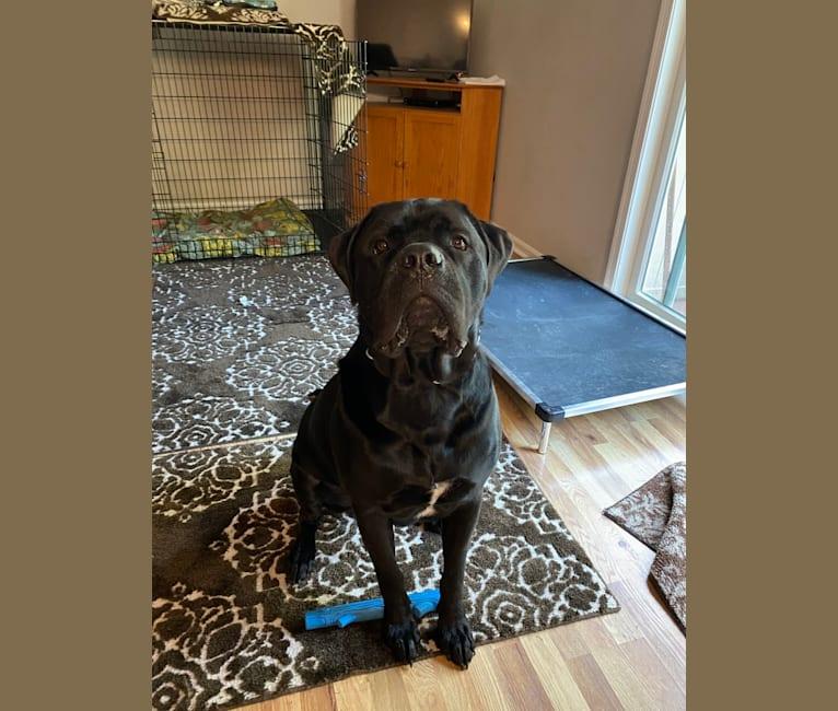 Photo of Max, a Bullmastiff and Newfoundland mix in Norfolk, VA, USA