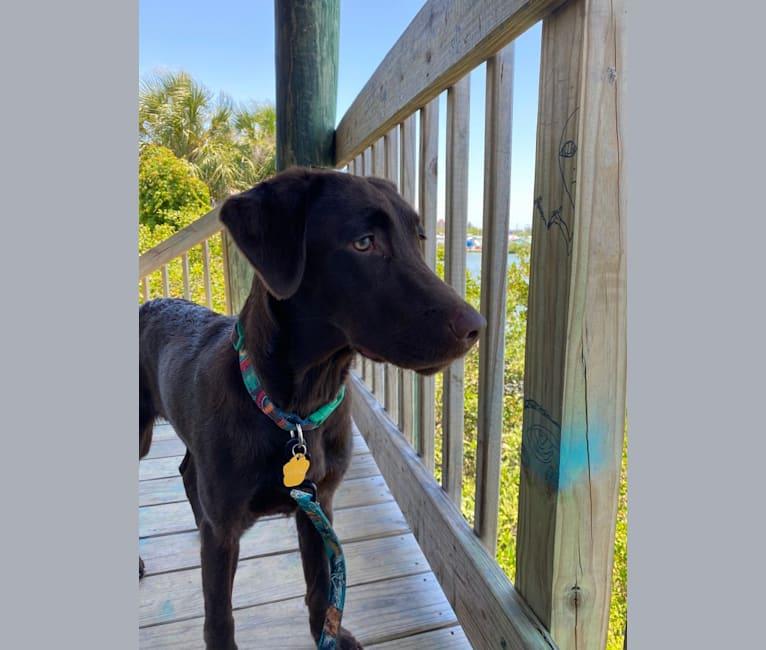Photo of Winnie, a Labrador Retriever  in St. Petersburg, Florida, USA