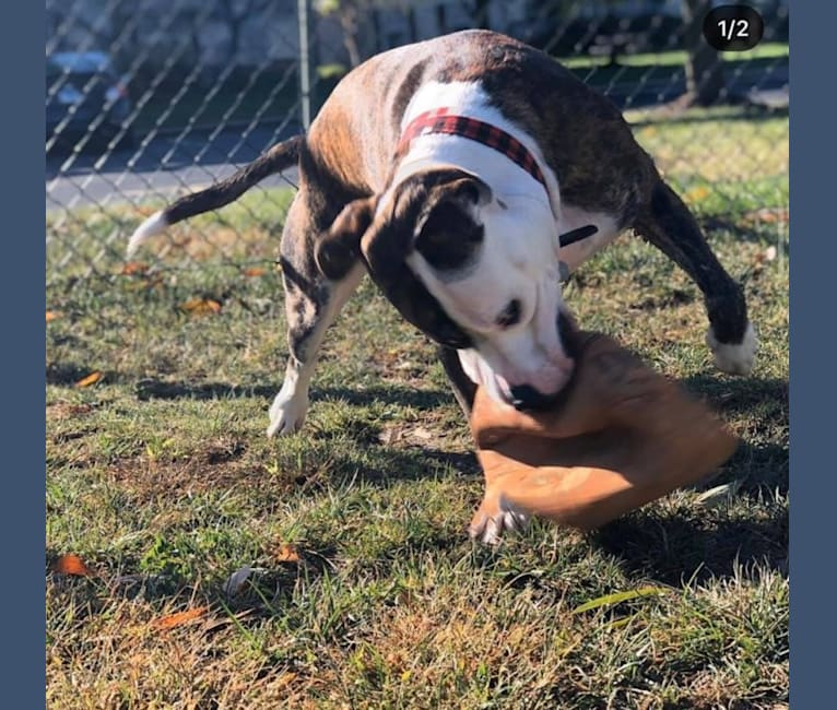 Photo of Fenster, an American Pit Bull Terrier and American Staffordshire Terrier mix in Illinois, USA