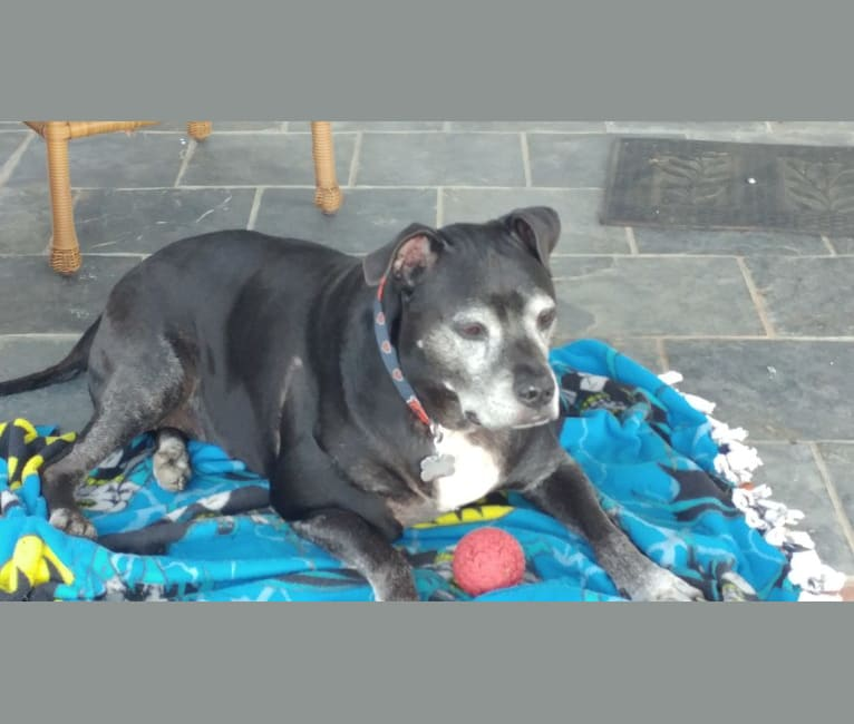 Photo of Murray, an American Pit Bull Terrier  in Lafayette, Indiana, USA