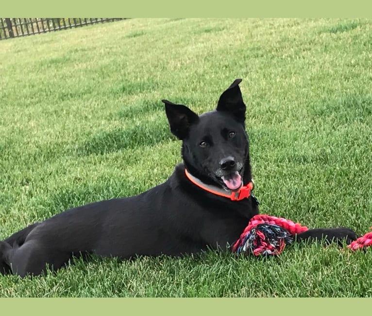 Photo of Zeppelin, an American Pit Bull Terrier, Siberian Husky, German Shepherd Dog, and Mixed mix in Homer Glen, Illinois, USA